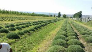 Weeding and shaping the lavender, August 2016, Mack, Colorado.