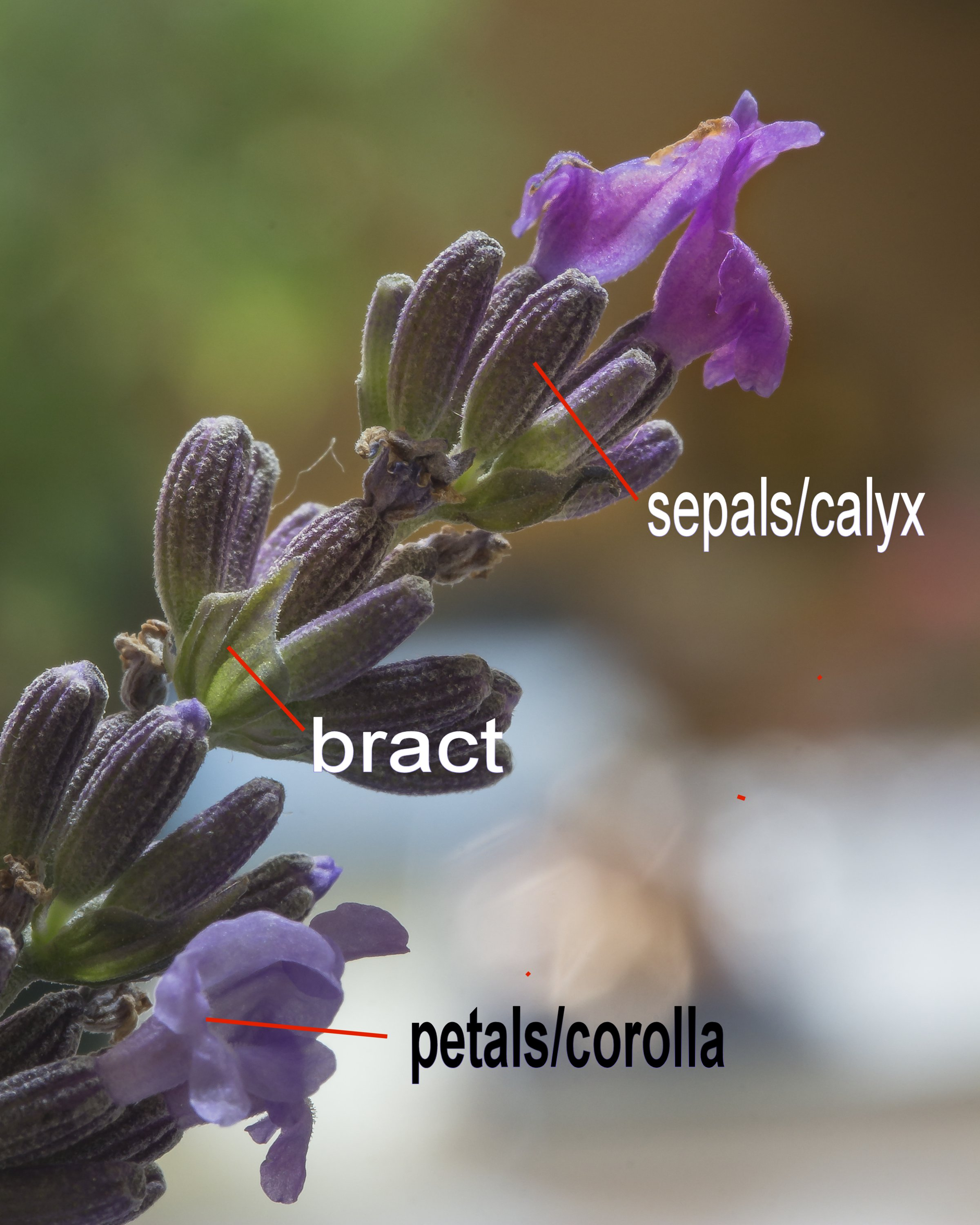 The parts of the lavender flower